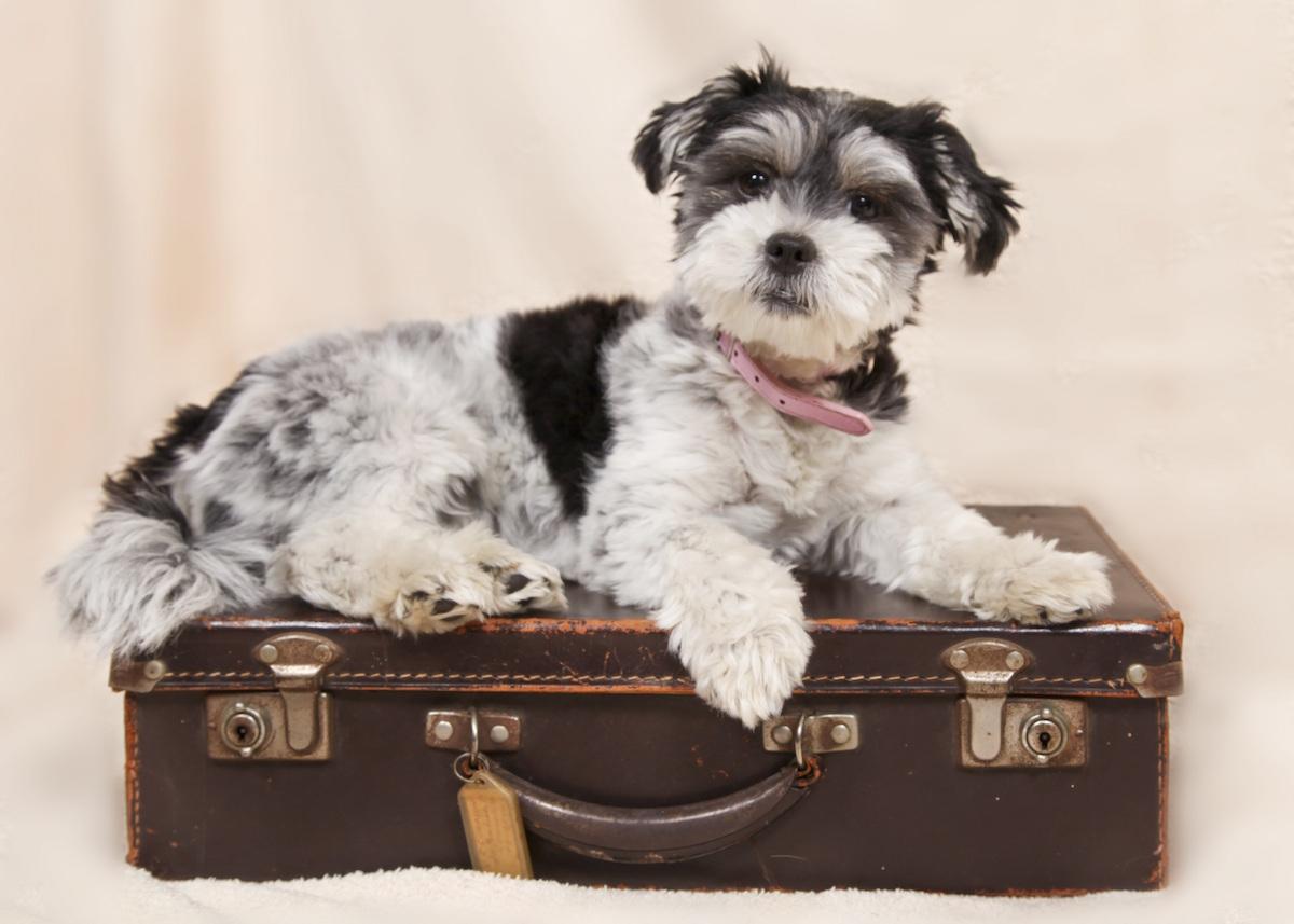 un chien sur une valise pour voyager avec son animal de compagnie