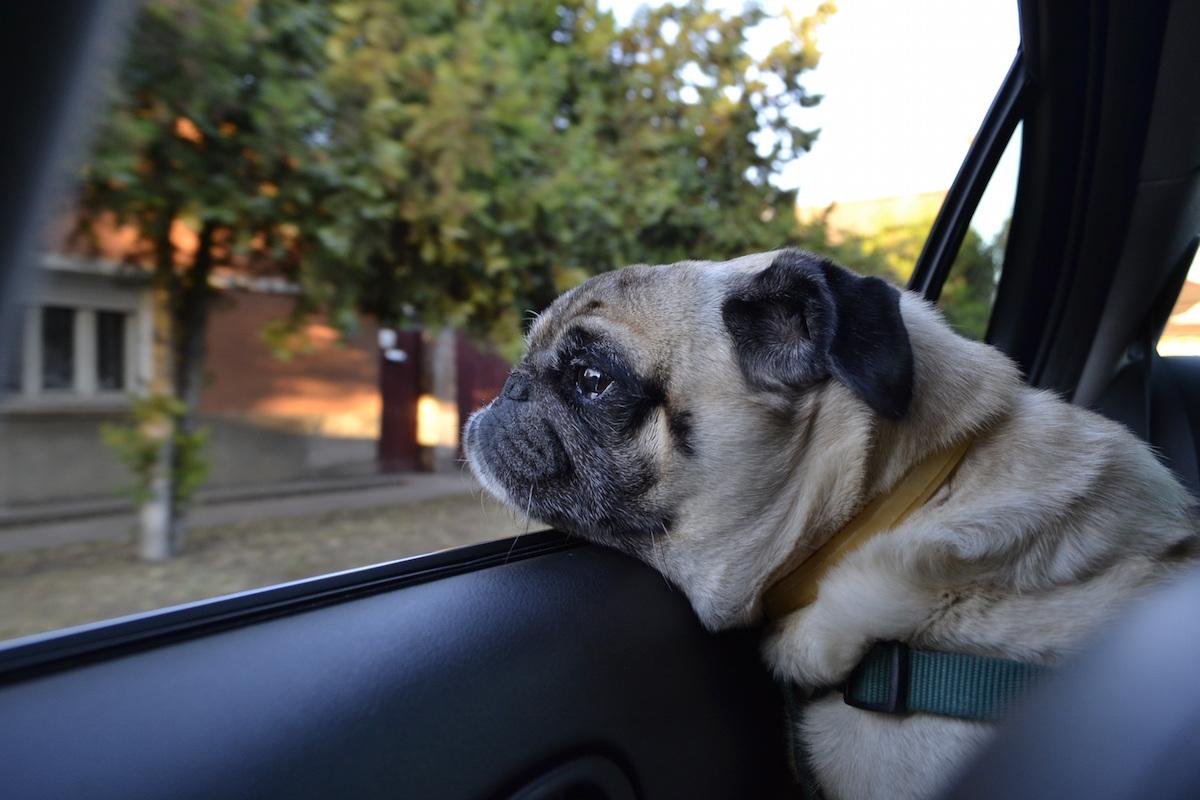 un chien à la fenêtre d'un taxi pour voyager avec son animal de compagnie
